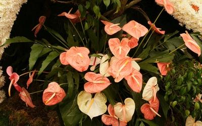 Orange Anthuriums in the garden wallpaper