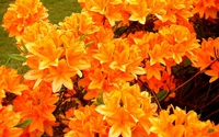Orange azaleas wallpaper 2560x1600 jpg