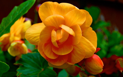 Orange Begonia wallpaper