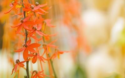 Orange blossoms wallpaper