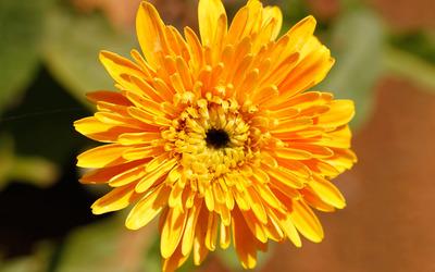 Orange chrysanthemum wallpaper