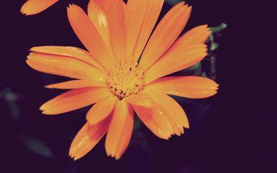 Orange daisy [2] wallpaper