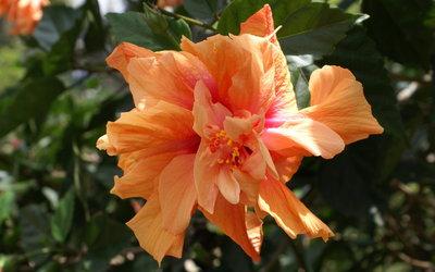 Orange Hibiscus wallpaper