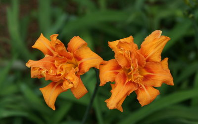 Orange lilies wallpaper