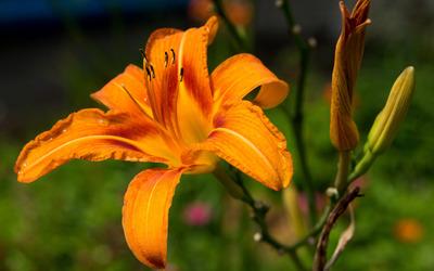 Orange lily wallpaper