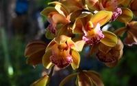 Orange orchids [2] wallpaper 1920x1200 jpg