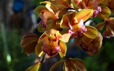 Orange orchids [2] wallpaper