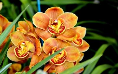 Orange orchids wallpaper
