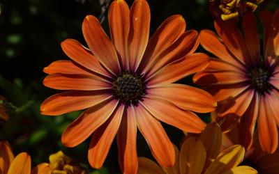 Orange Osteospermum blossom wallpaper