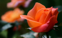 Orange rose wallpaper 1920x1200 jpg