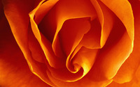 Orange rose [3] wallpaper 2560x1600 jpg