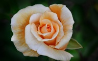 Orange rose [5] wallpaper 2560x1600 jpg