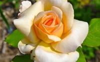 Orange rose [4] wallpaper 2560x1600 jpg