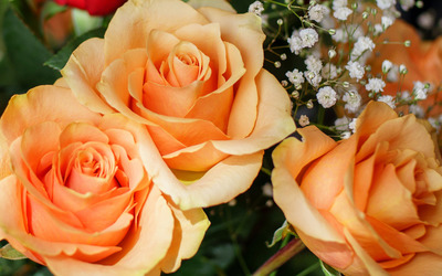 Orange roses [4] wallpaper