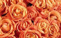 Orange roses wallpaper 1920x1200 jpg
