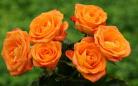 Orange Roses wallpaper 1920x1080 jpg