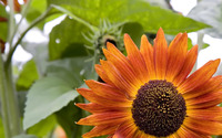 Orange sunflower wallpaper 1920x1200 jpg