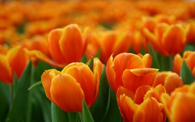 Orange tulips [2] wallpaper