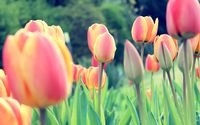 Orange tulips [3] wallpaper 2560x1600 jpg