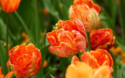 Orange tulips [5] wallpaper