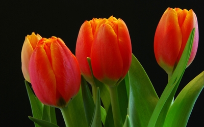 Orange tulips [4] wallpaper