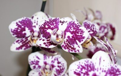 Orchid [2] wallpaper