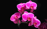 Orchids wallpaper 2560x1600 jpg