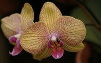 Orchids [8] wallpaper 1920x1080 jpg