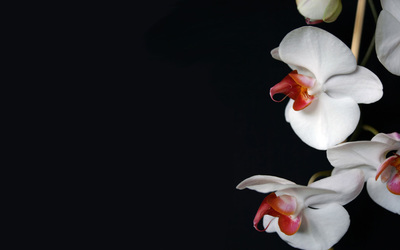 Orchids [3] wallpaper