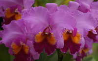 Orchids [10] wallpaper 1920x1080 jpg