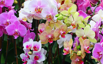 Orchids [4] wallpaper