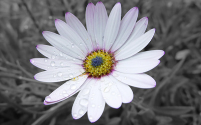Osteospermum [5] wallpaper