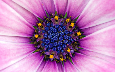 Osteospermum wallpaper