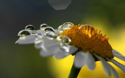 Oxeye daisy wallpaper