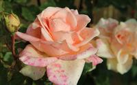 Pale orange roses [2] wallpaper 3840x2160 jpg