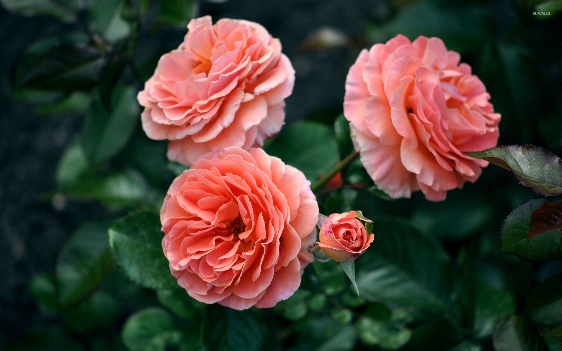 Pale Orange Roses Wallpaper