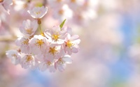 Pale pink cherry blossoms wallpaper 2560x1600 jpg