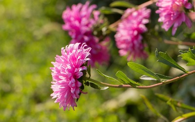 Pale pink Chrysanthemum wallpaper