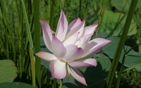 Pale pink lotus above the water wallpaper 1920x1200 jpg