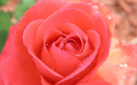 Pale pink rose with water drops wallpaper 1920x1200 jpg