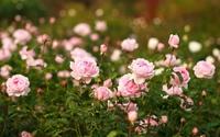 Pale pink roses wallpaper 1920x1200 jpg