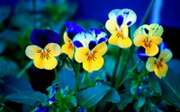 Pansies wallpaper 1920x1200 jpg