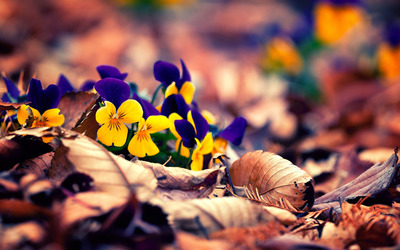 Pansies [3] wallpaper