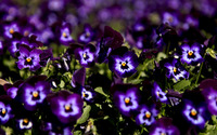 Pansies [5] wallpaper 2560x1600 jpg