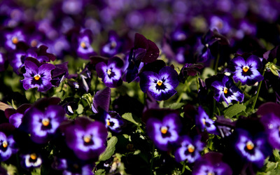 Pansies [5] wallpaper