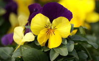 Pansies [7] wallpaper 1920x1080 jpg