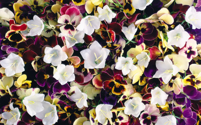 Pansies and white bellflowers wallpaper
