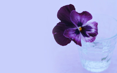 Pansy [2] wallpaper