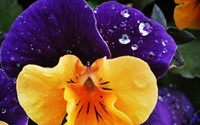 Pansy wallpaper 2560x1600 jpg