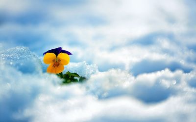 Pansy in the snow wallpaper